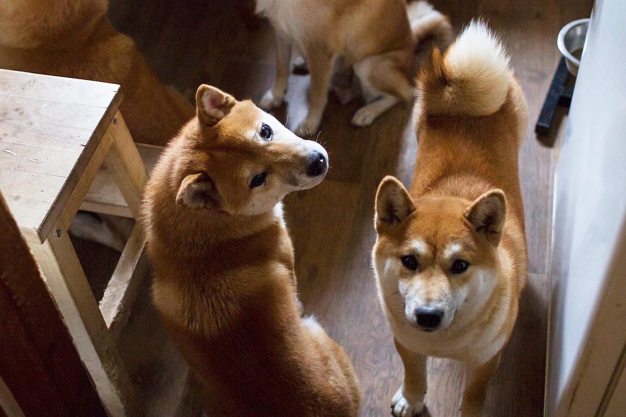 фотографии собаки сиба ину