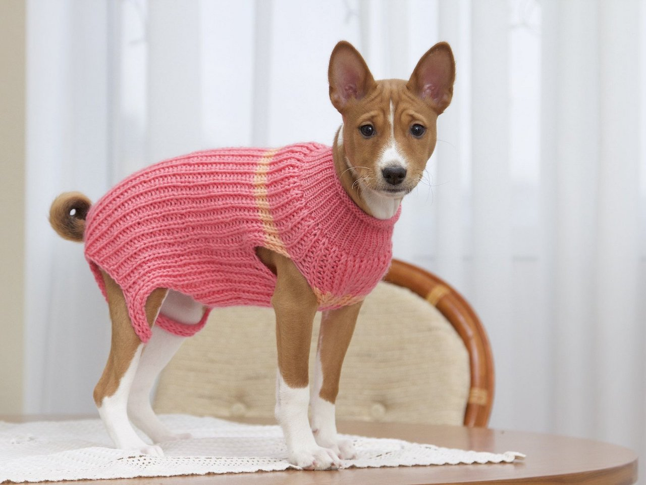 порода собак басенджи фото