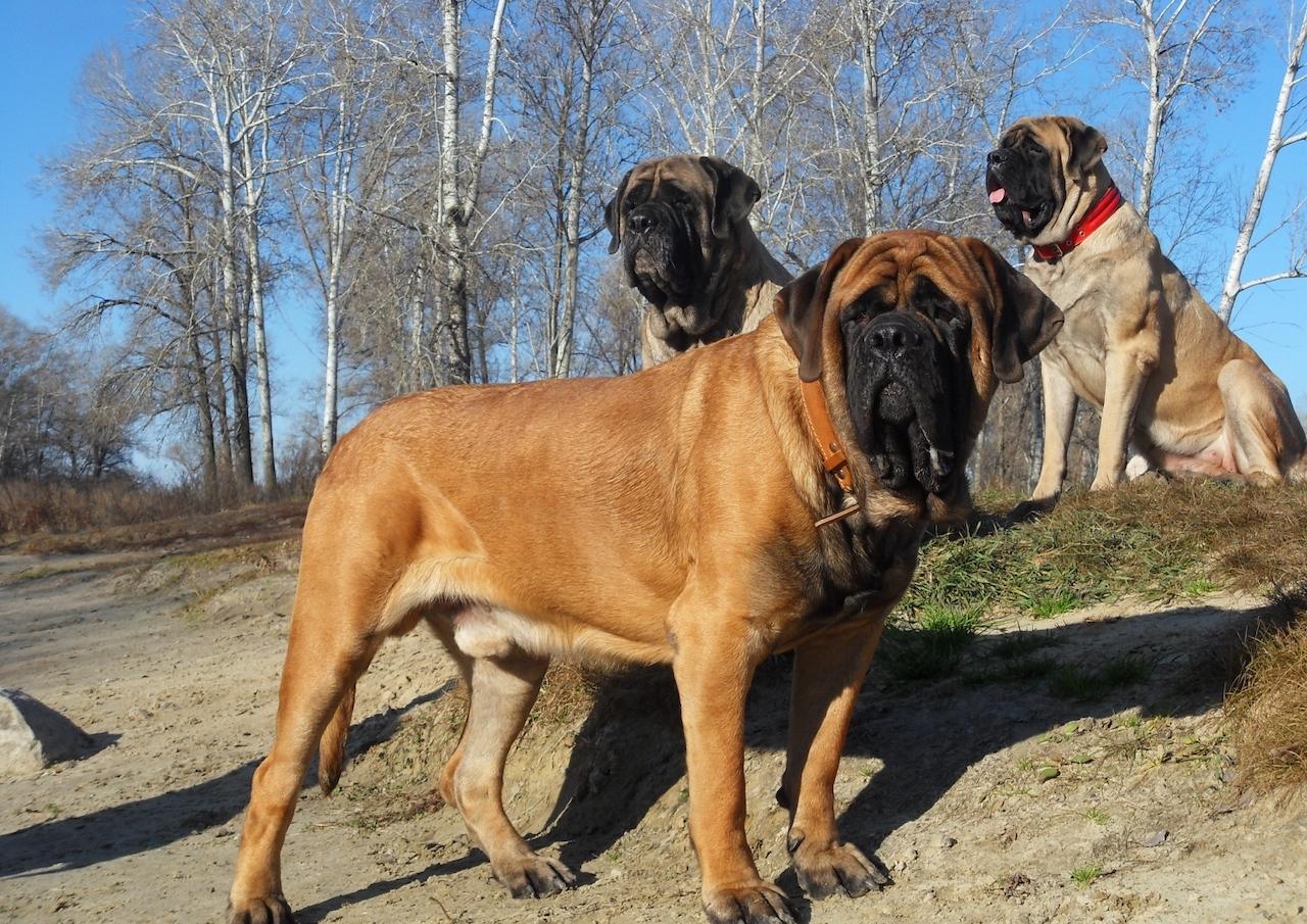 собака английский мастиф фото