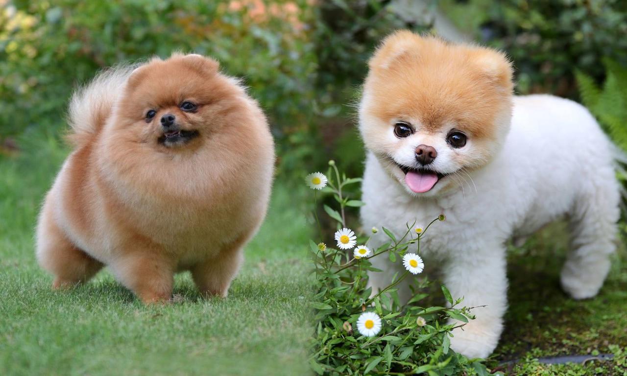 собака померанский шпиц фото