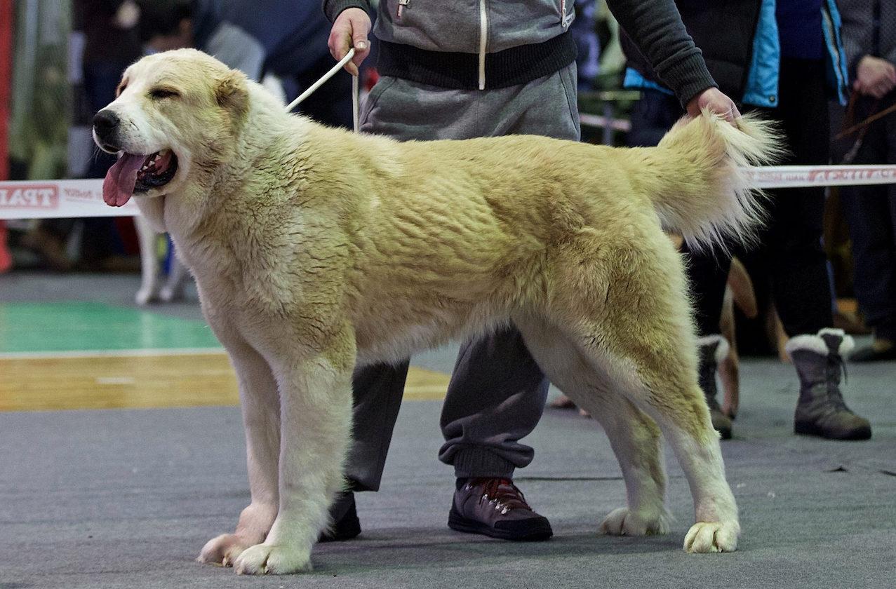 Алабай на выставке собак