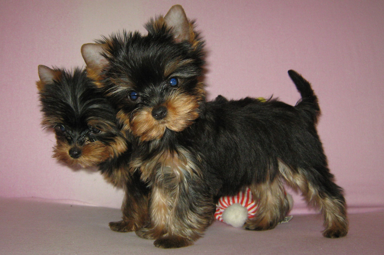 фото собаки йоркширский терьер щенок