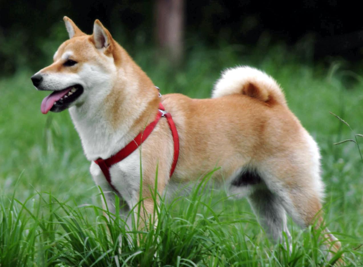 собака сиба ину фото характеристики