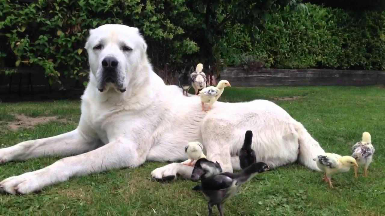 Гордый алабай лежит на траве а курицы по нему бегают