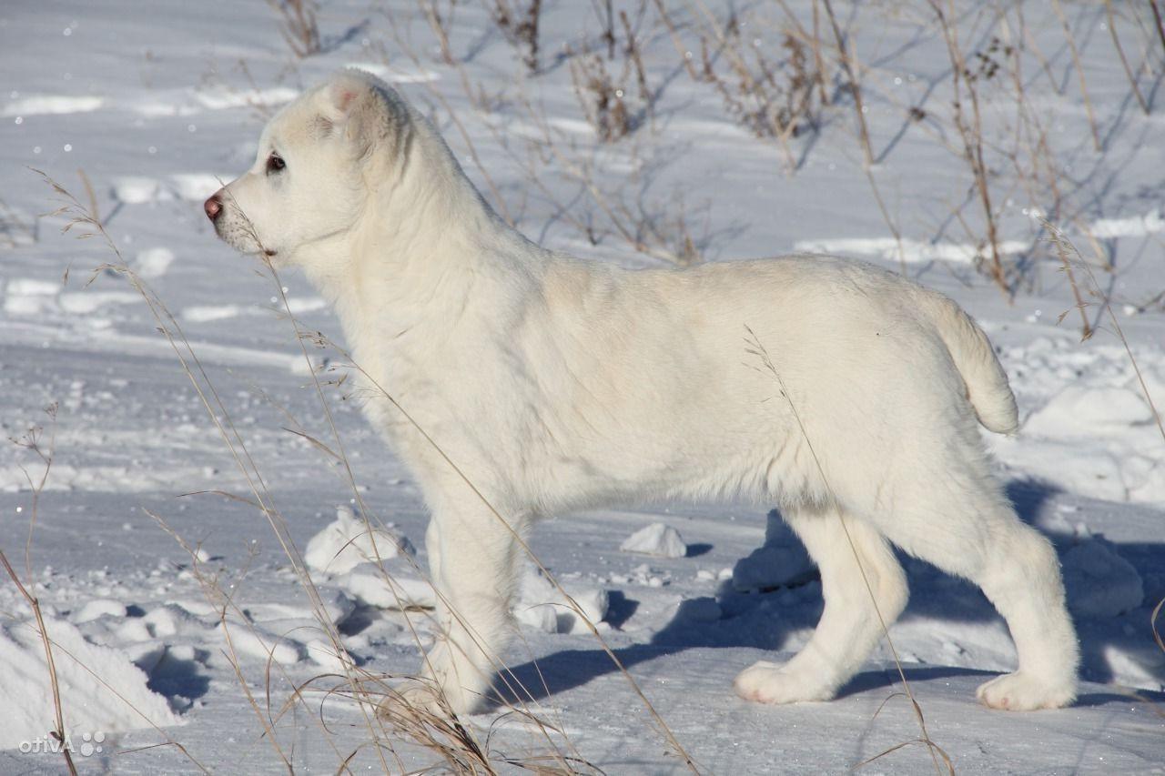 Белоснежный щенок алабая