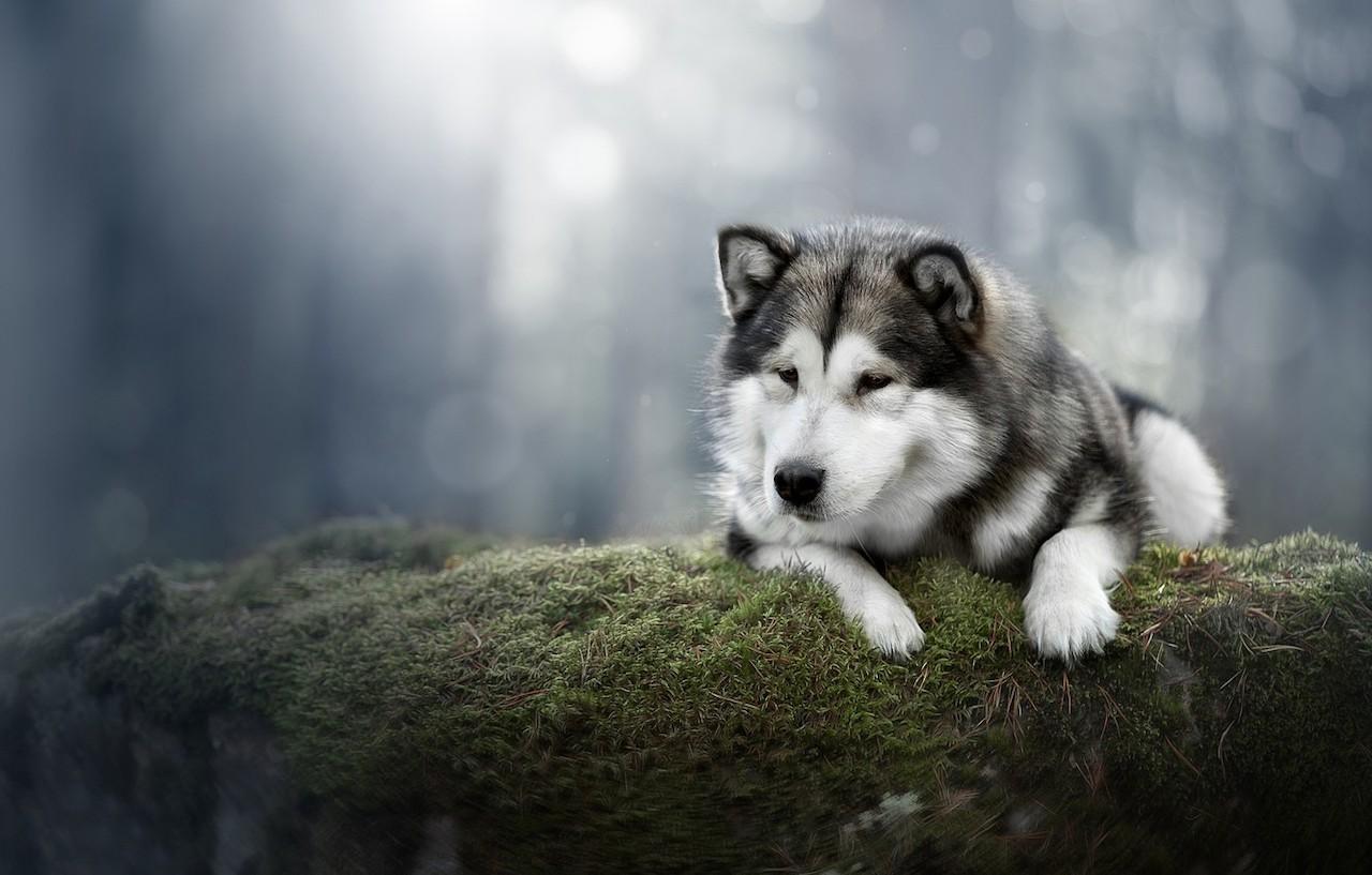 Красивое фото собаки аляскинский маламут
