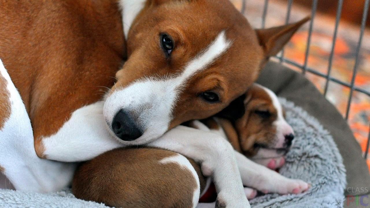 мама басенджи лежит на щенке