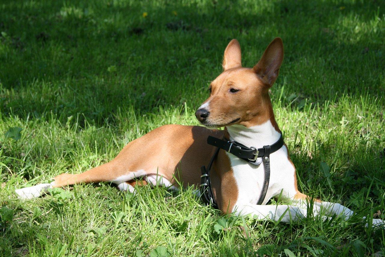 Басенджи лежит на траве