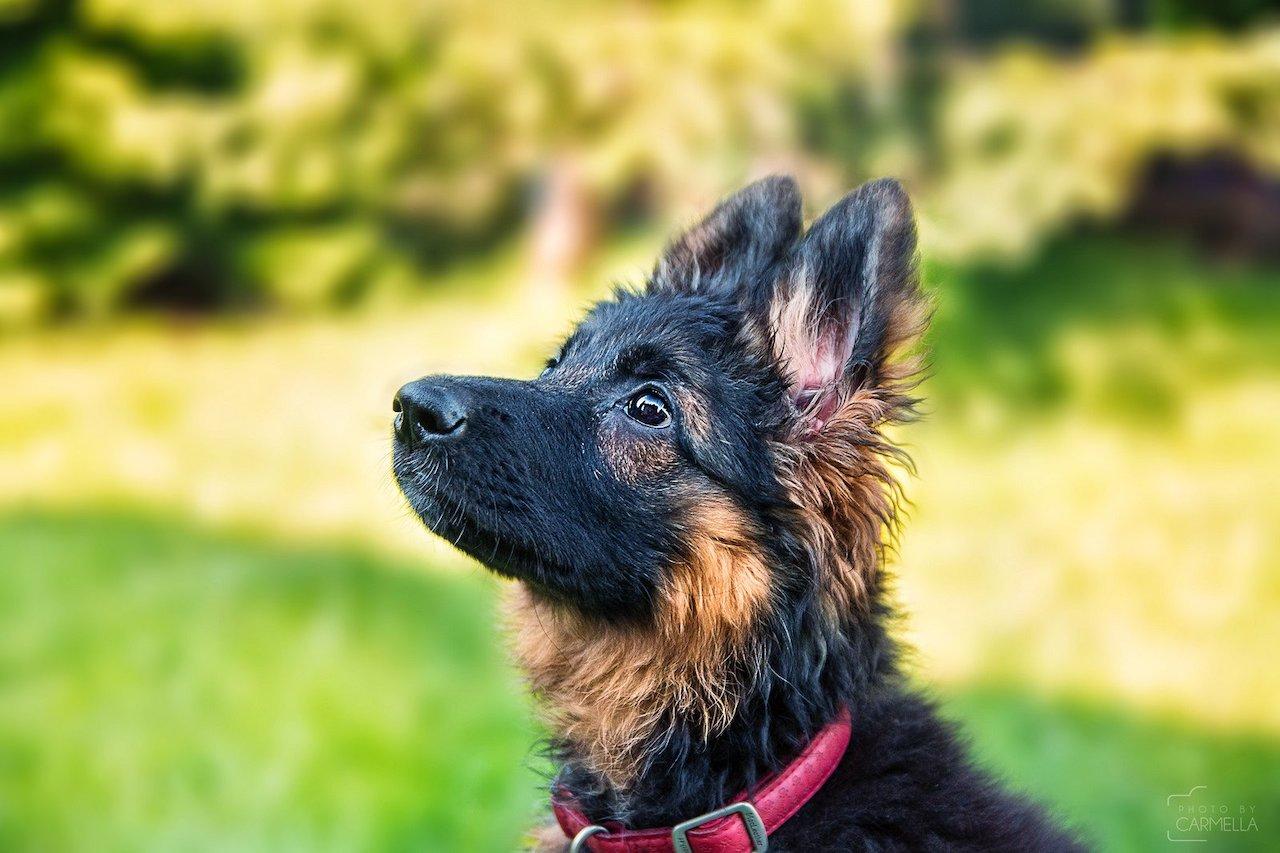 как выглядит щенок немецкой овчарки фото