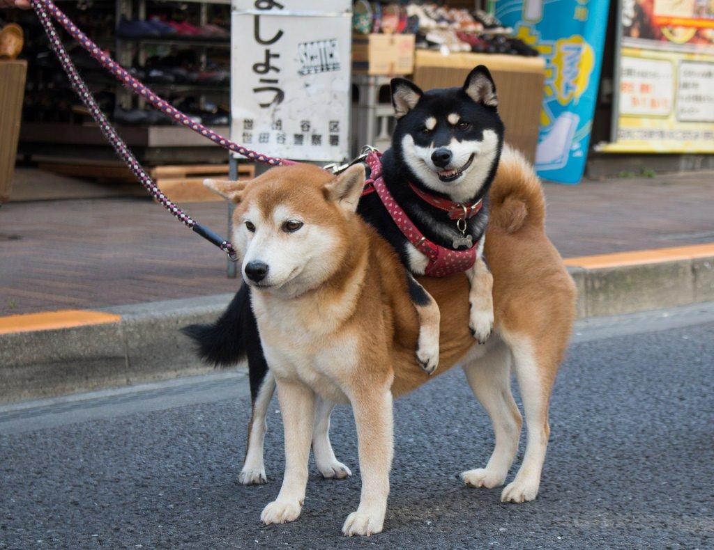 картинки породы собаки сиба ину