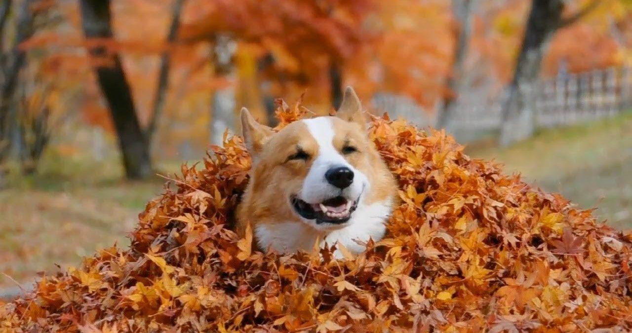 Вельш корги пемброк играет осенью в листьях