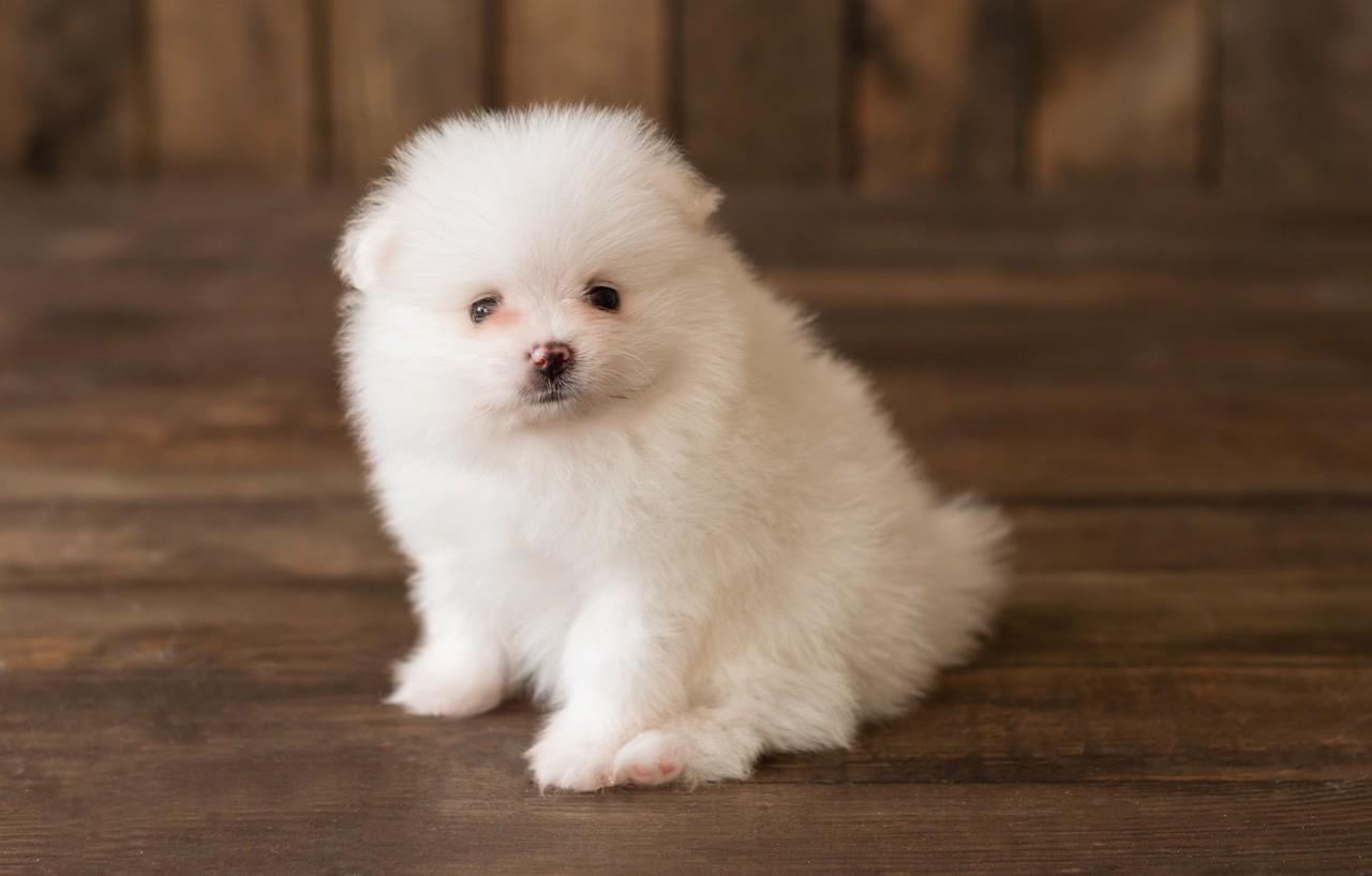 Белый щенок померанского шпица