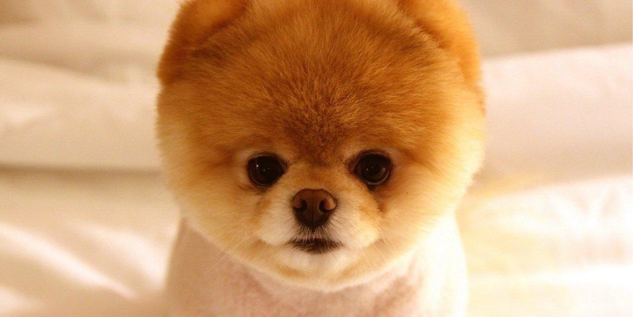 померанский шпиц щенок фото