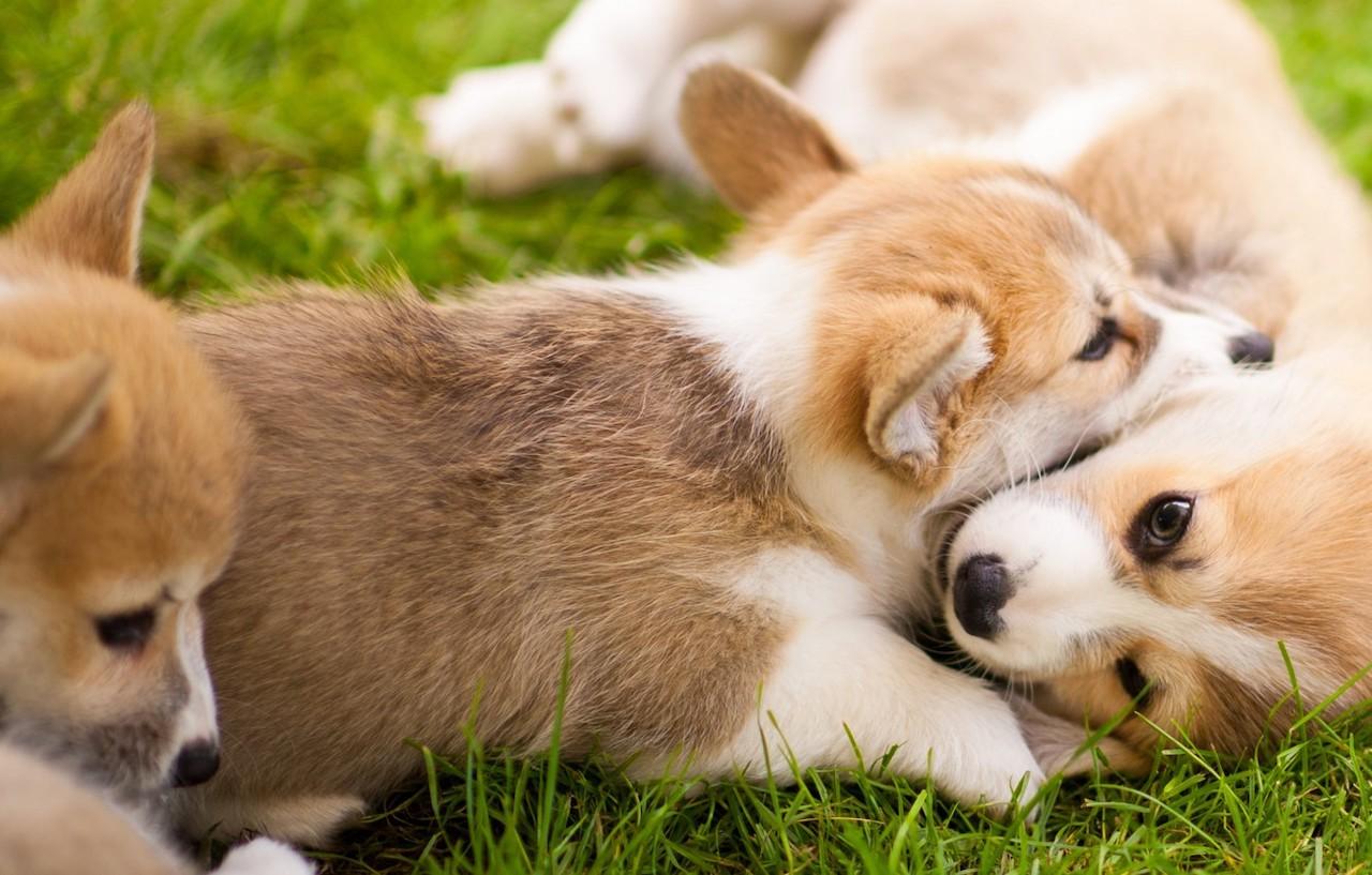 Милые щенки вельш корги пемброк