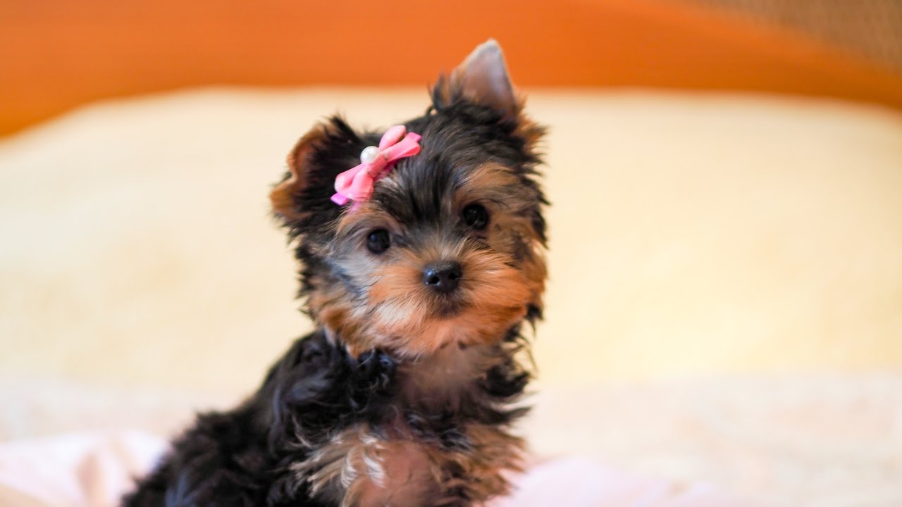 собака йоркширский терьер фото девочек