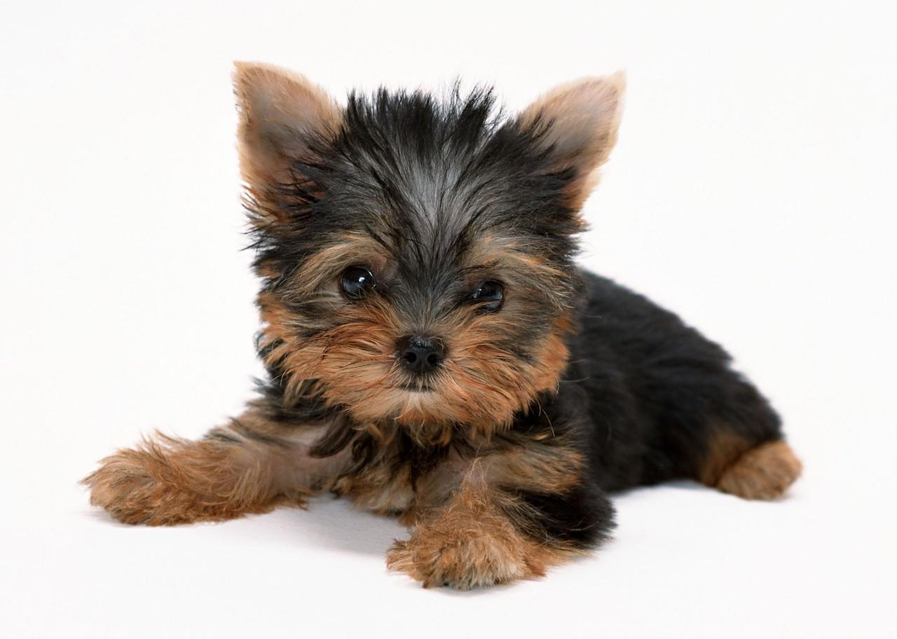 Милый щенок йорка