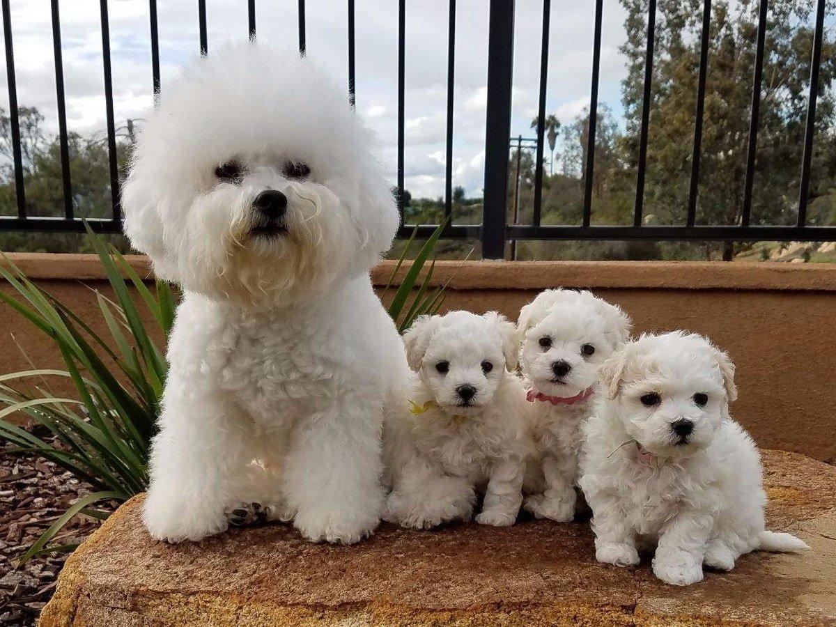порода собак бишон фризе фото