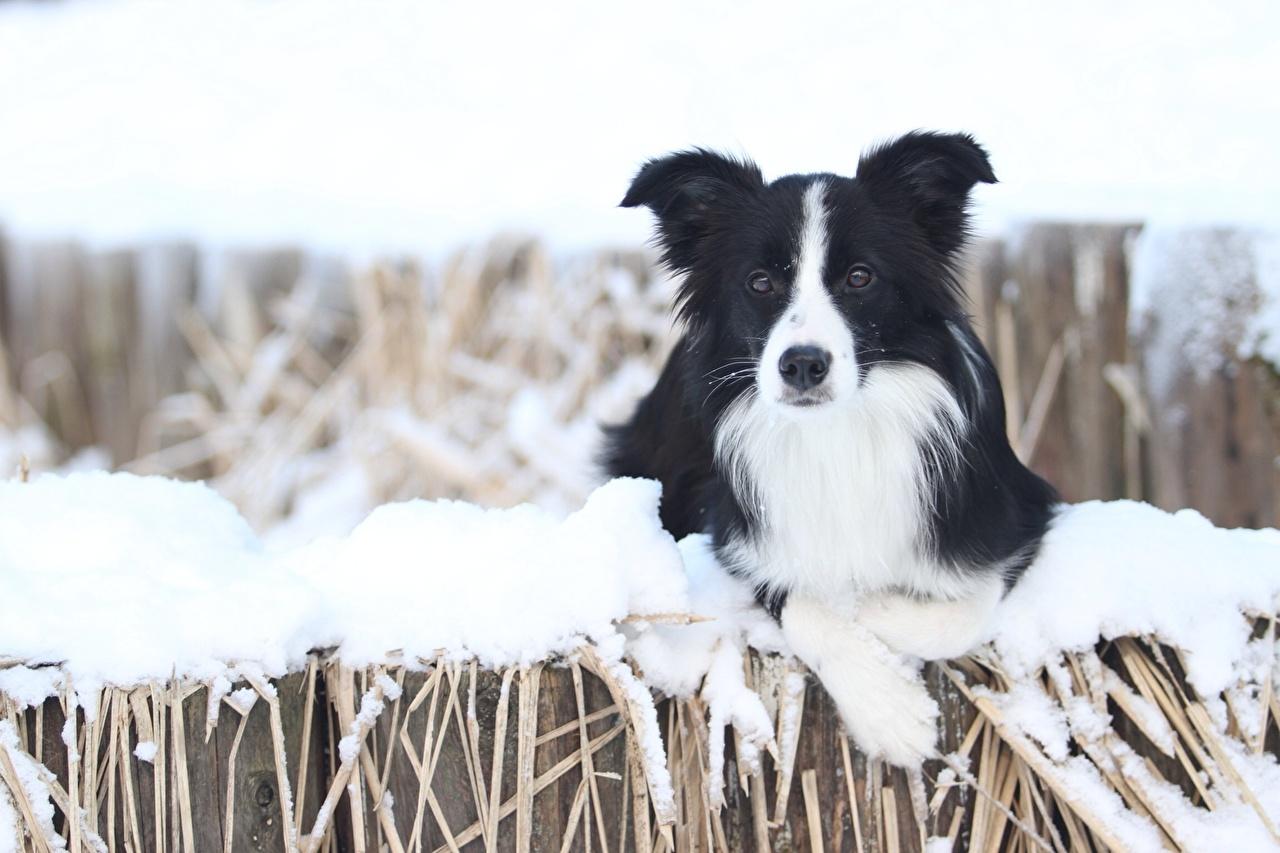 фотографии собаки бордер колли