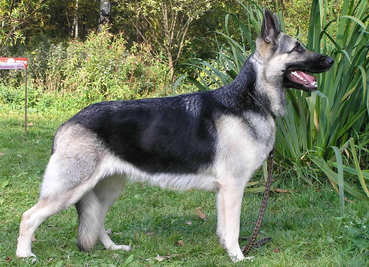 фото собаки восточно европейская овчарка
