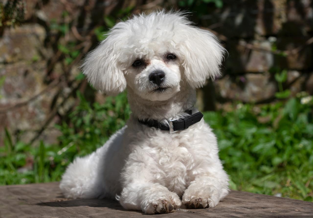 собака бишон фризе фото