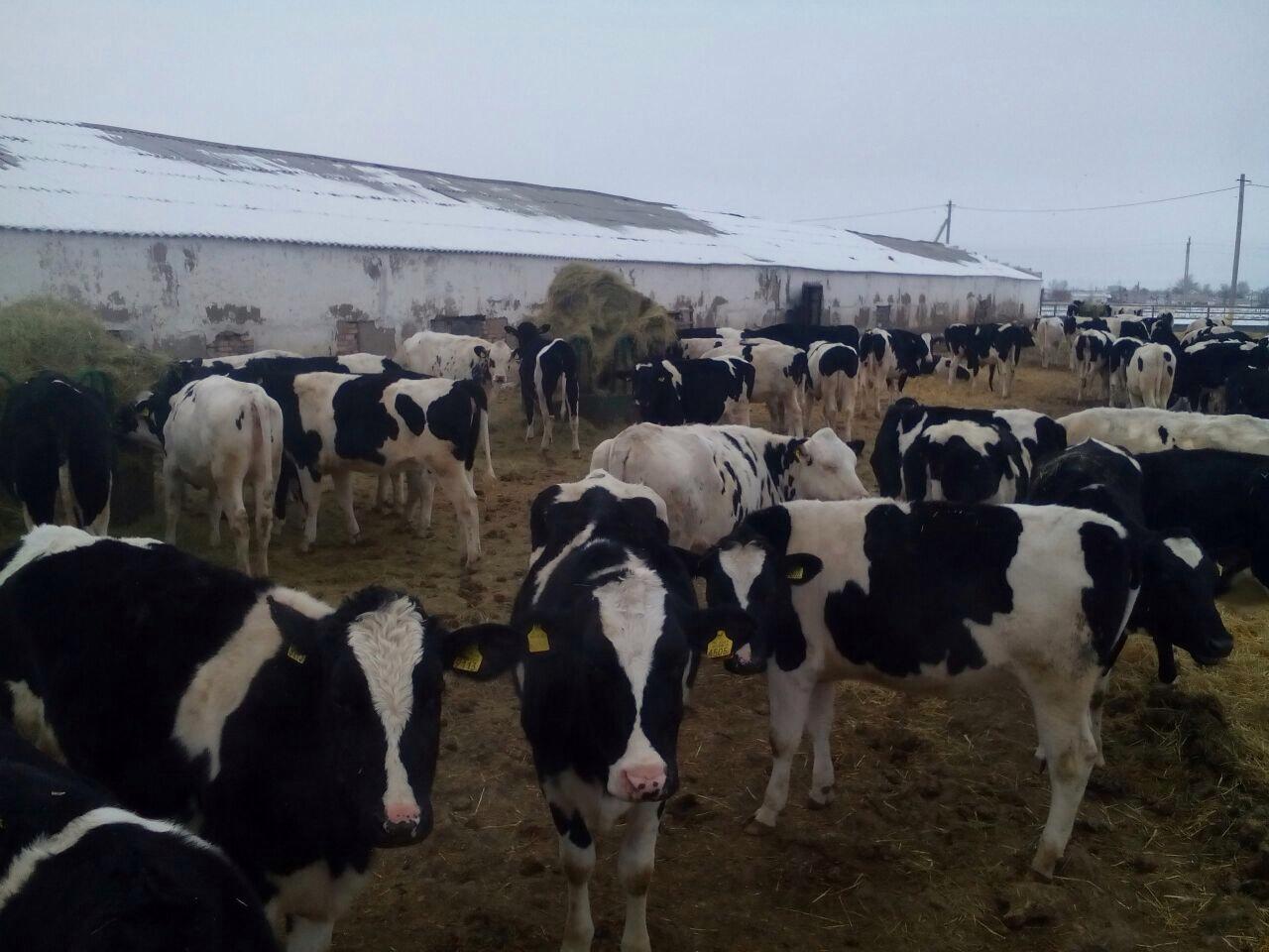 Стадо голштинских коров