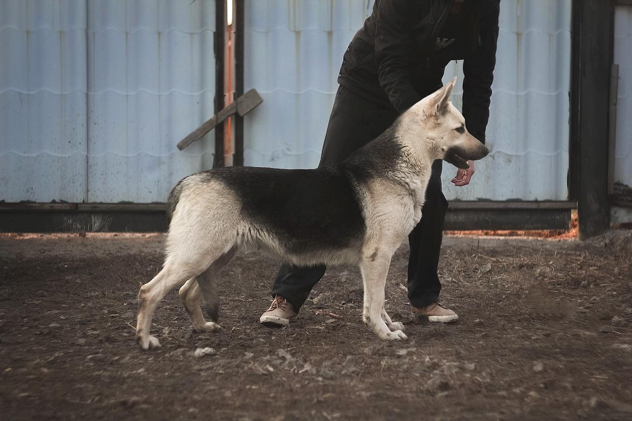 Разведение восточно европейских овчарок