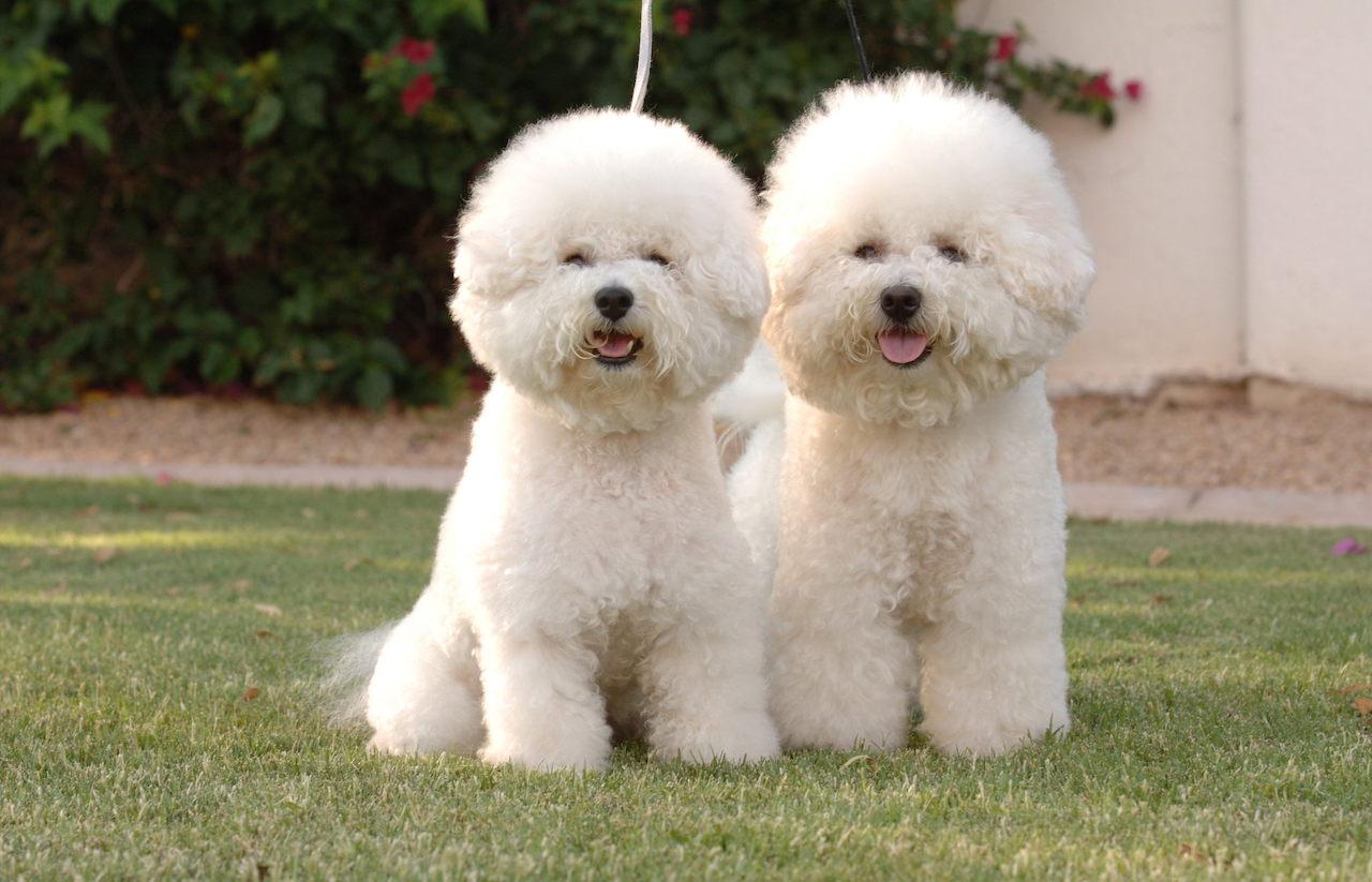Семья собак бишон фризе