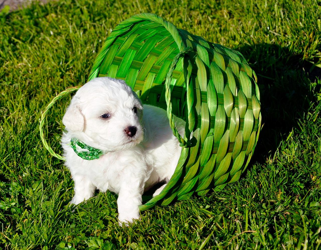 фото бишон фризе собаки белые