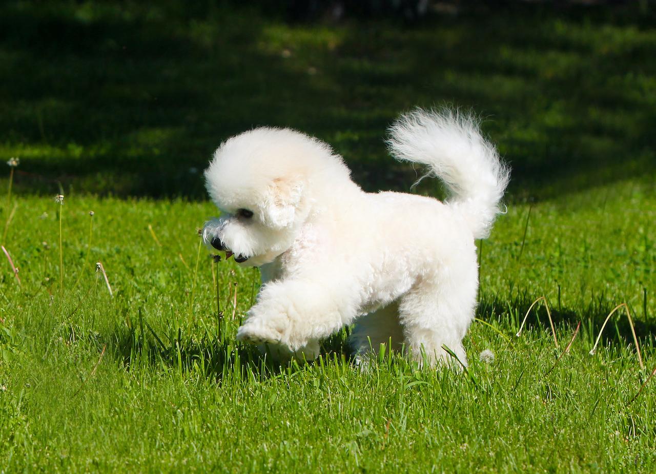 Милый щенок бишон фризе