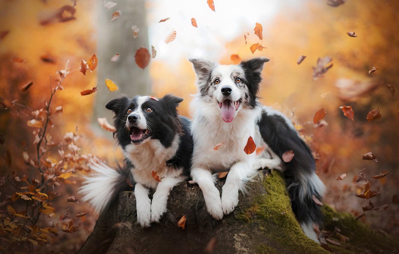 фотки собаки бордер колли