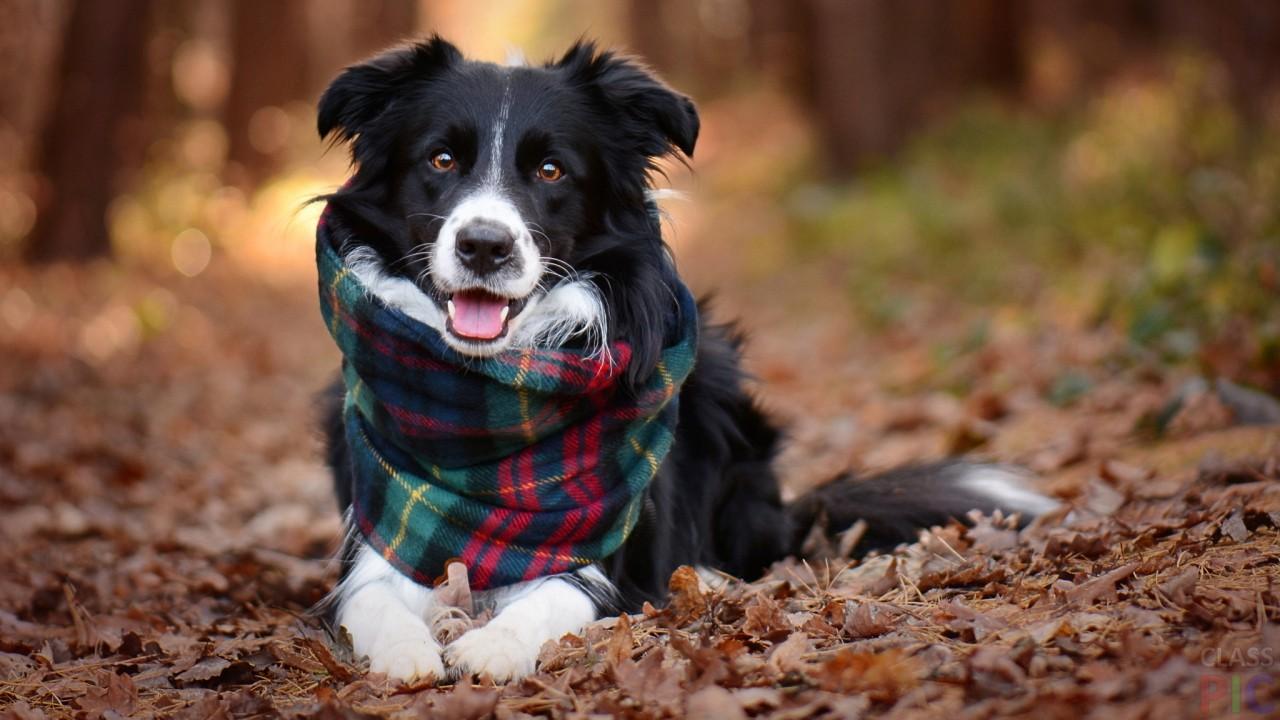 бордер колли  шарфом на шее