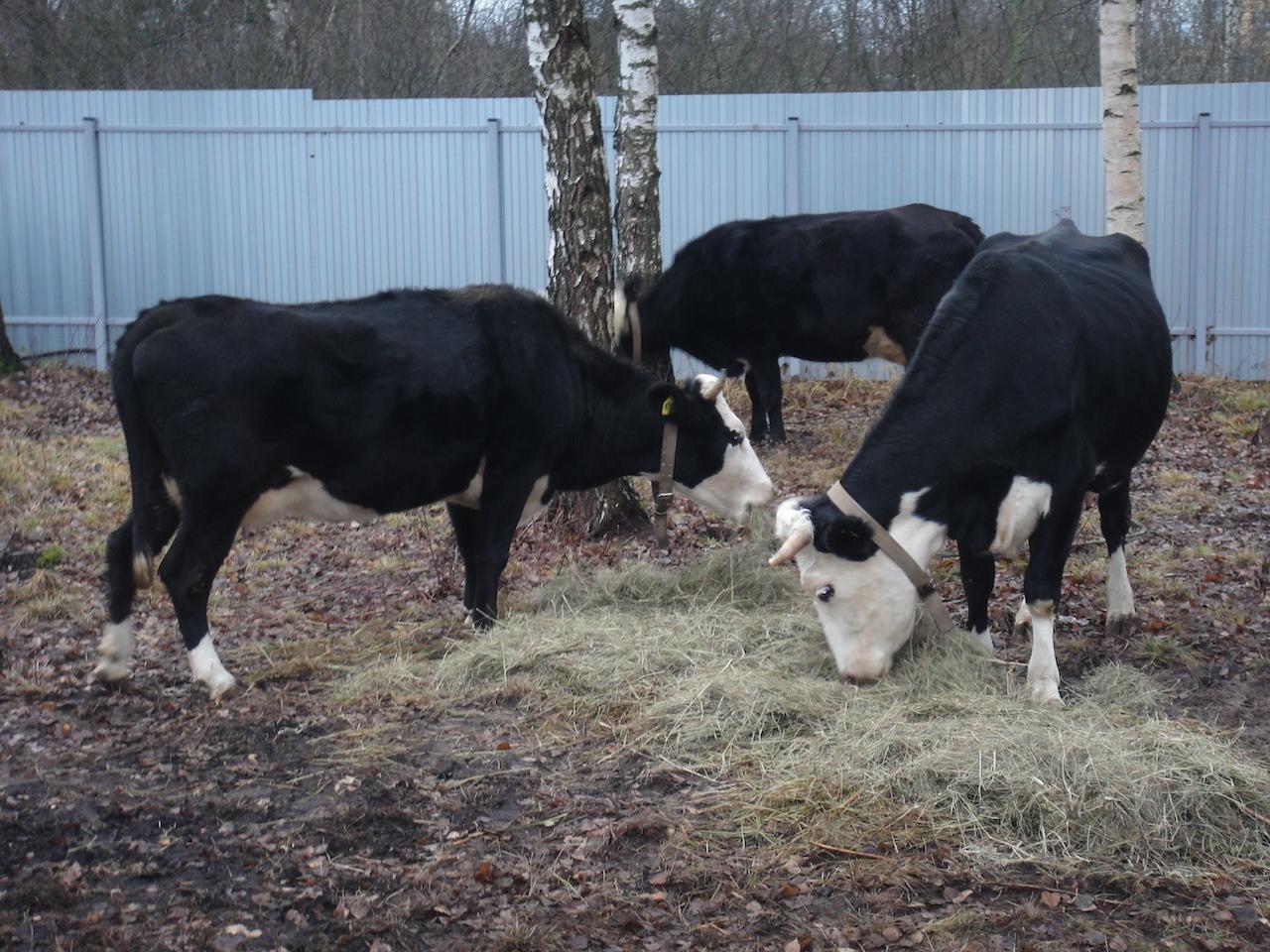 Ярославские коровы едят
