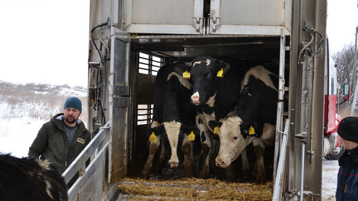 Голштинскую корову привезли на ферму