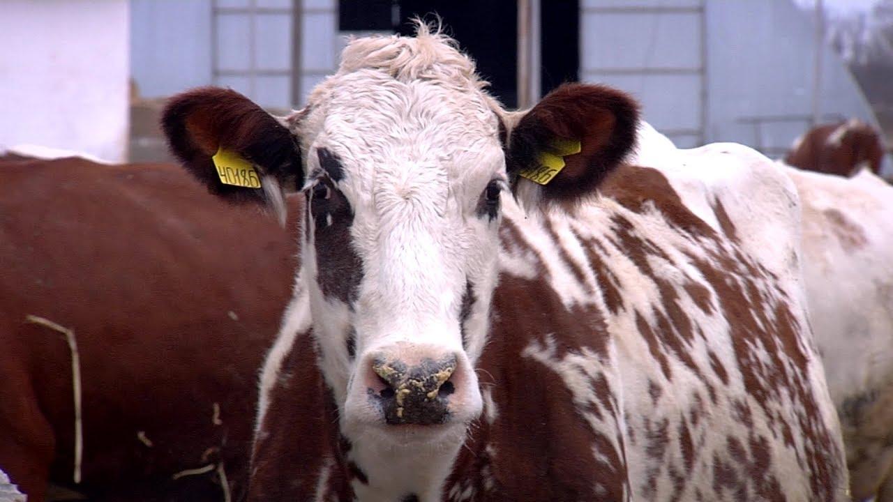 Разведение айрширских коров