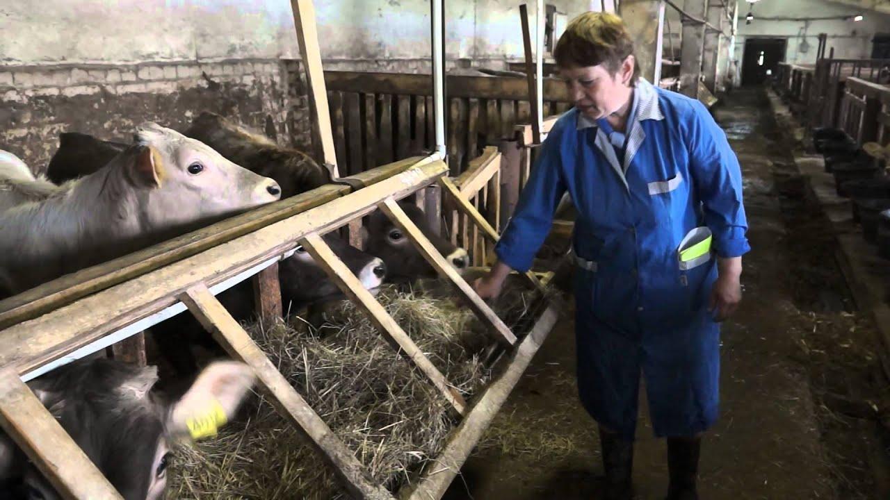 Содержание костромской коровы