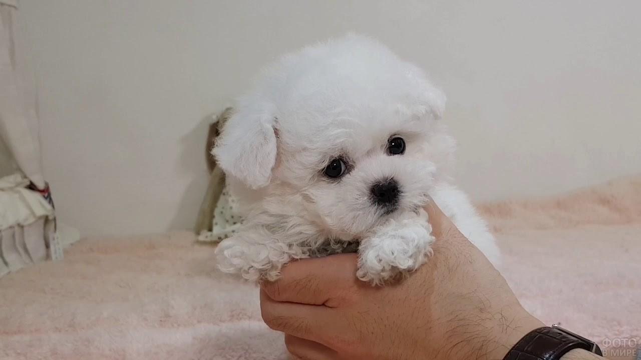 Совсем маленький щенок бишон фризе