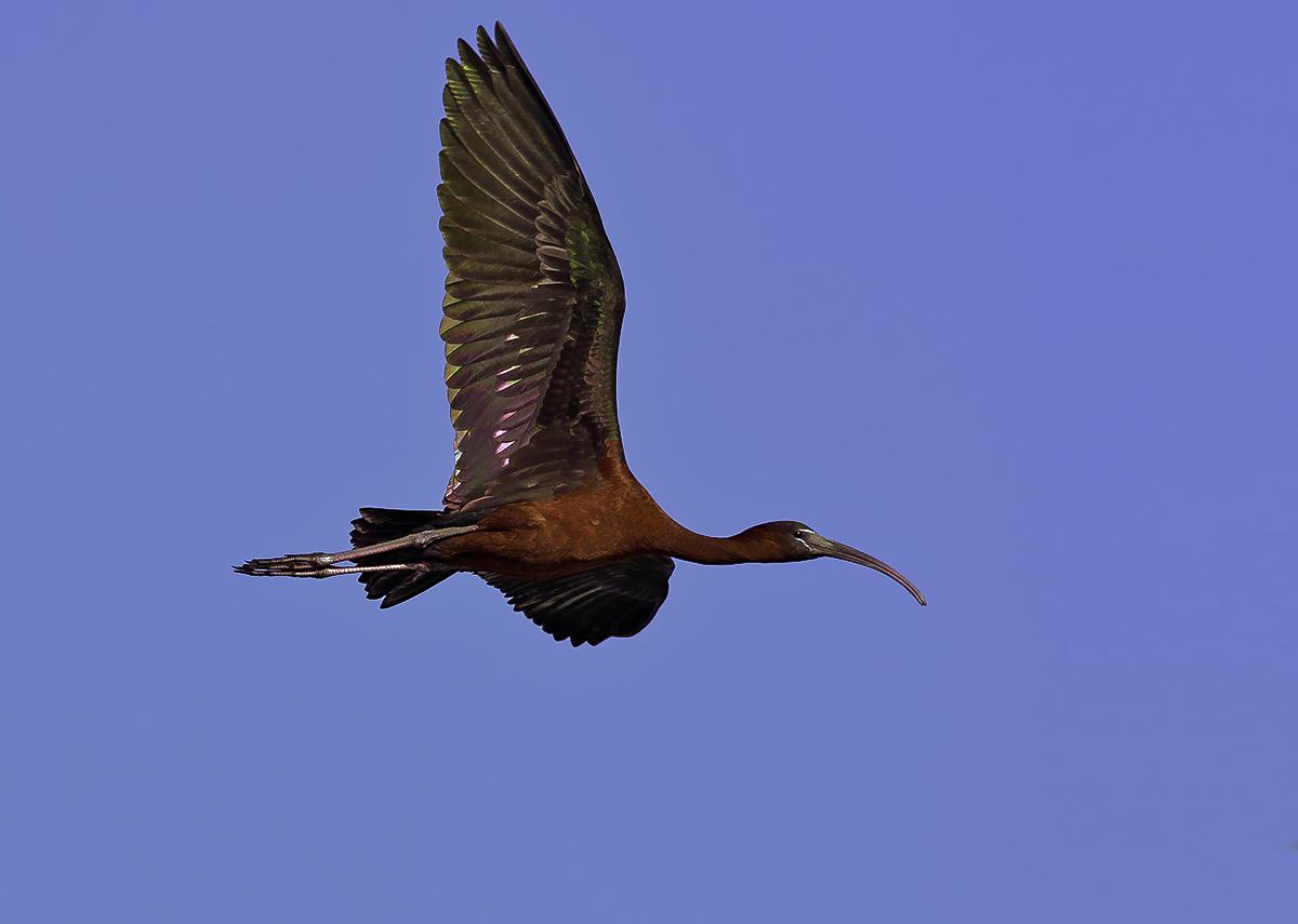 Фото птицы каравайки