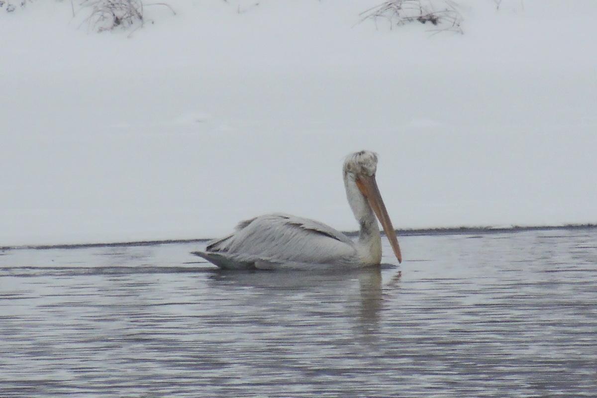 Строение и размеры кудрявого пеликана