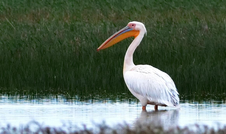 Описание розового альбатроса