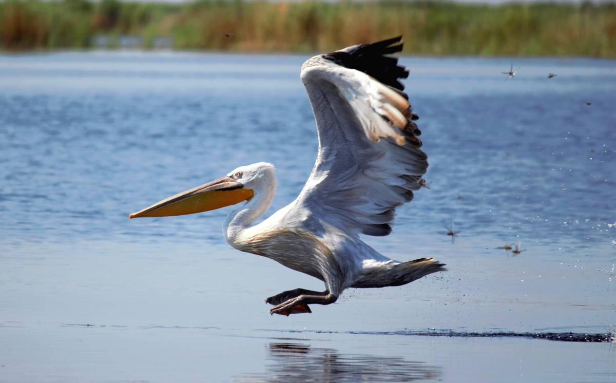 Ареал и среда обитания кудрявого пеликана