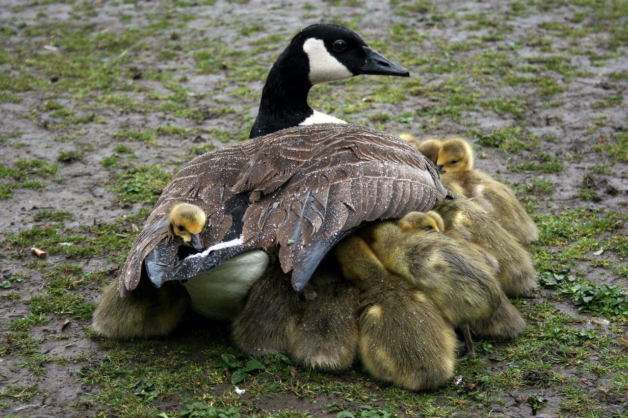 Птенцы алеутской канадской казарки