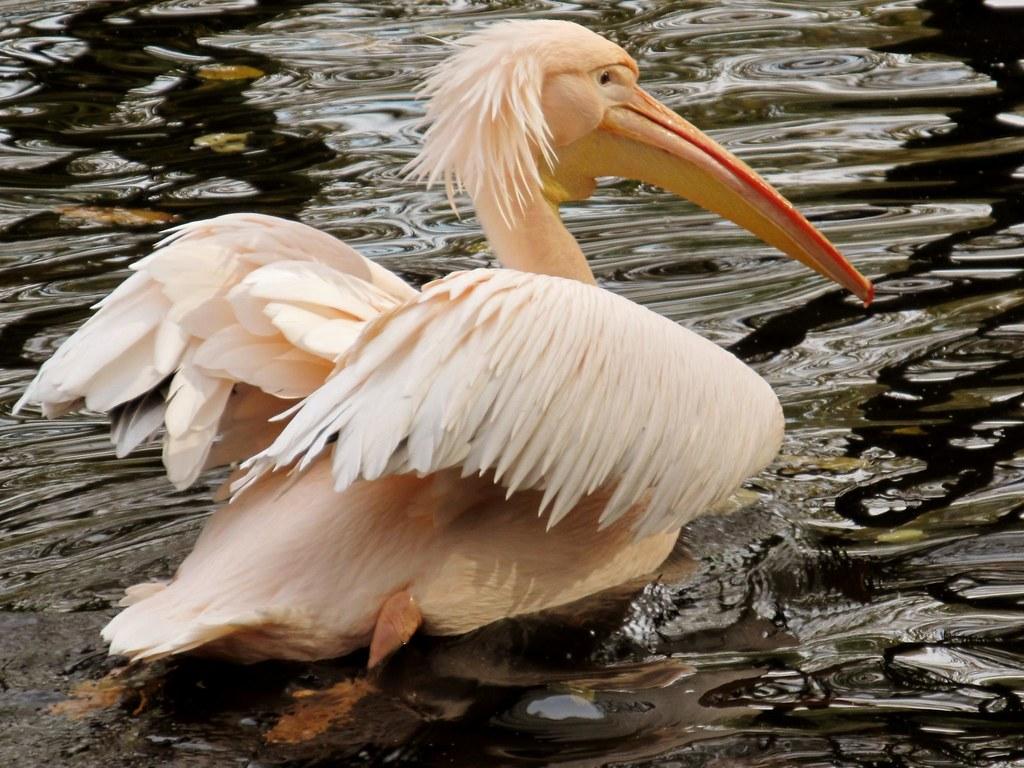 Строение и размеры розового альбатроса