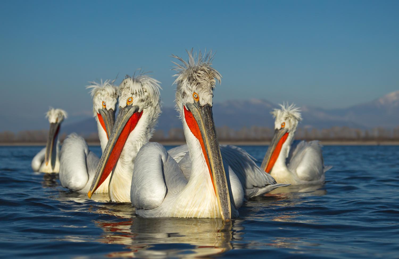 Размножение кудрявого пеликана