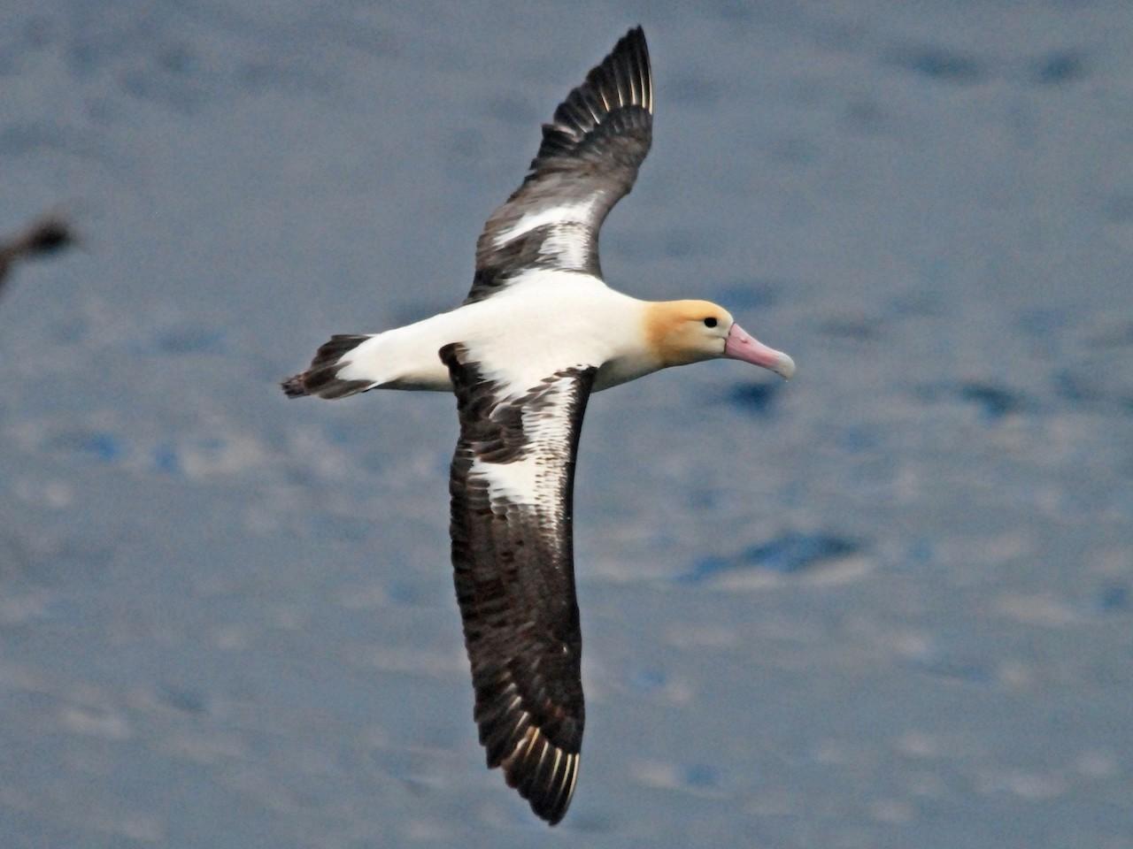 Зимовки белоспинного альбатроса
