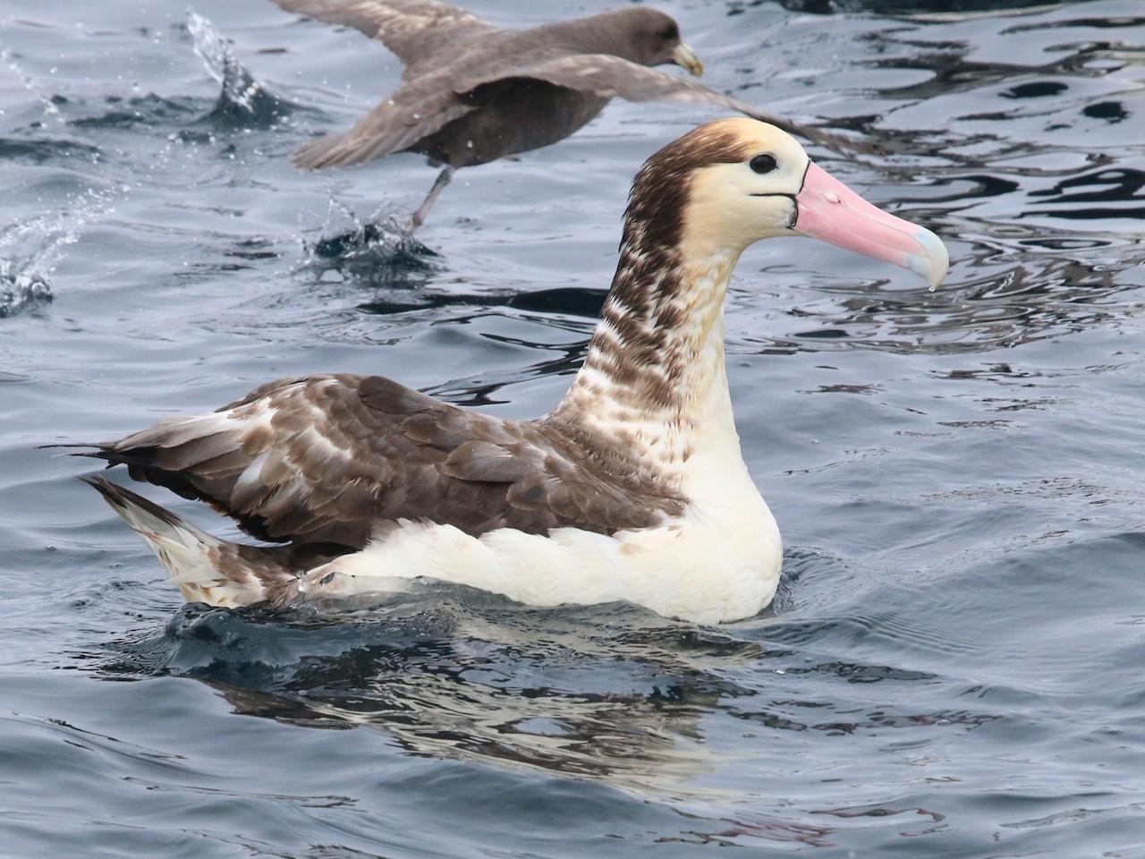 Описание белоспинного альбатроса