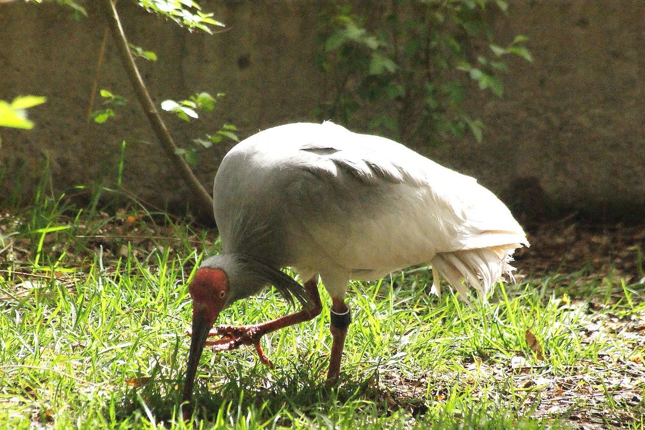 Среда обитания красноо ибиса