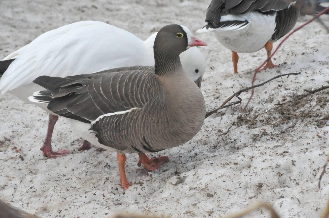 Среда обитания гуся пискульки