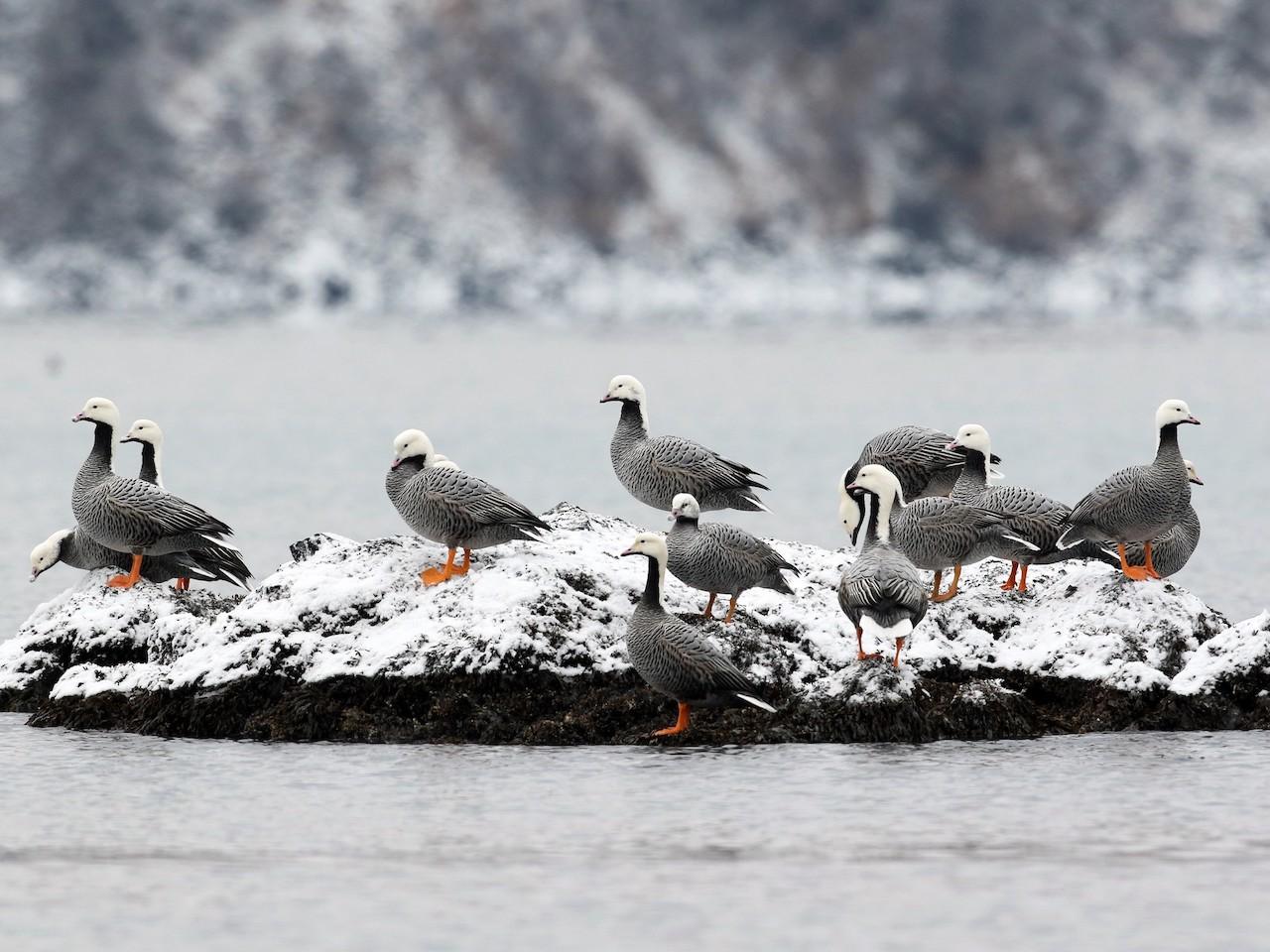 Среда обитания гуся белошея