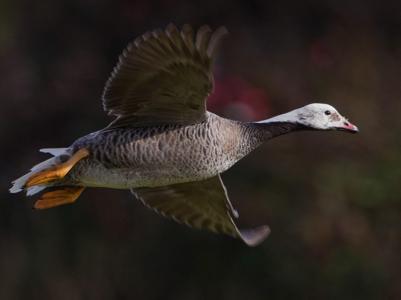 Интересные факты про гуся белошея