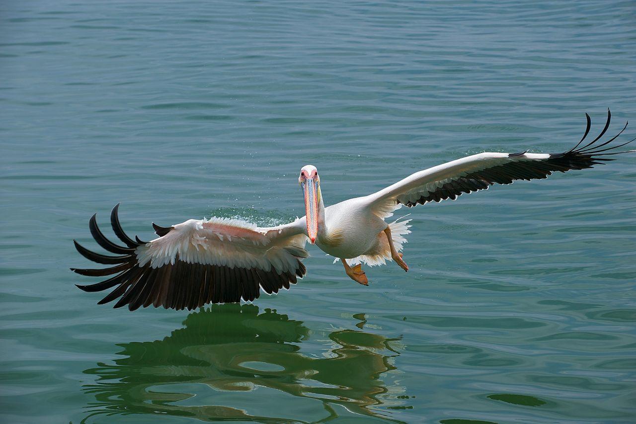 Ареал и среда обитания розового альбатроса